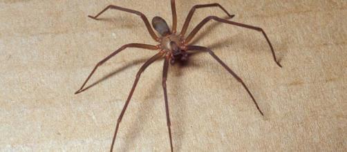 In un paese del foggiano, a Manfredonia, un ragno violino ha morso un bambino di cinque anni.