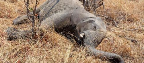 Centenas de elefantes estão morrendo misteriosamente em Botsuana. (Arquivo Blasting News)