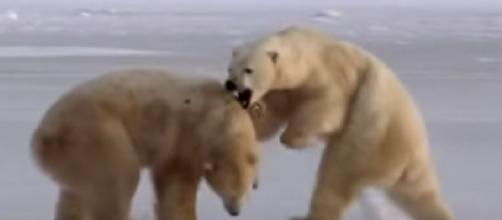 "Arctic polar bears ""face near-extinction within decades"" warn scientists. [Image source/BBC News YouTube video]"