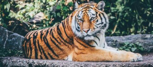▷ Día Internacional del Tigre 2020