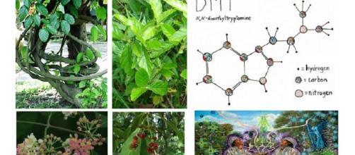 Ayahuasca è un decotto preparato con alcune piante del Sud America, come Banisteriopsis caapi e Psychotria viridis. L'infuso contiene DMT.