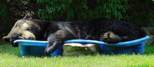 Urso tira uma soneca em piscina infantil. (Arquivo pessoal/Regina Keller)