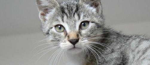 chat s'il frotte sa tête contre la vôtre ce n'est pas seulement pour vous dire qu'il est le chef - photo Pixabay