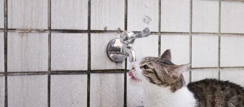 Pourquoi mon chat ne boit pas durant les fortes chaleurs ? Photo Pixabay