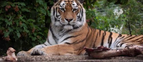 Tigre siberiano mata tratadora em Zurique. (Arquivo Blasting News)