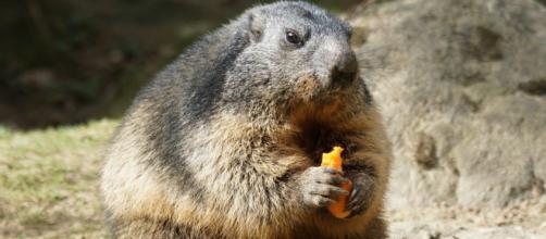 Marmota é portadora da bactéria que causa peste bubônica. (Arquivo Blasting News)