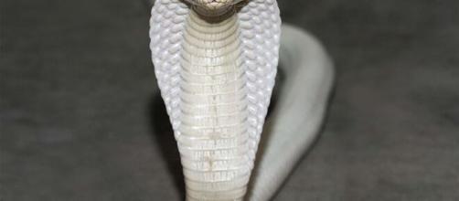 Cobra Naja pica estudante de veterinária. (Arquivo Blasting News)