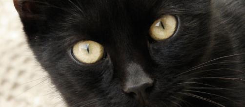 Chat : 5 raisons d'adopter un chat noir. Credit: FreeImage.com