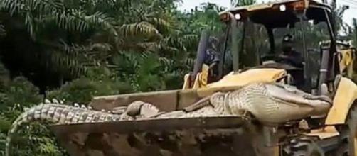 Crocodilo de 500 kg é morto na Indonésia. (Reprodução Twitter/ViralPress/Via The Sun)