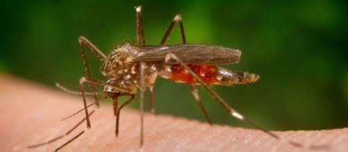 "El mosquito 'Aedes Japónicus"" o mosquito tigre, transmisor de la grave meningoencefalitis."