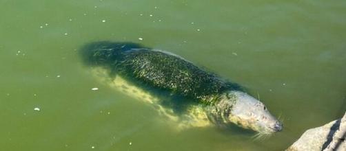 LAs focas del minizoo de la Magdalena siguen cubiertas de algas y en aguas estancadas