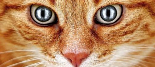 Chat : le syndrome du tigre. Credit: Pixabay/Alexas photo
