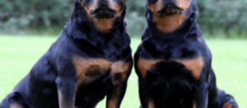 Bologna: due gemelli di sei anni aggrediti da due cani, uno è grave.