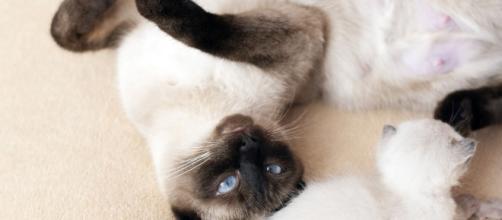 chat s'il vous montre son ventre ce n'est pas pour avoir des caresses - Photo Pixabay