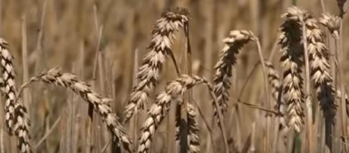 Europe Drought: Farmers warn hot weather will affect harvest. [Image source/TRT World YouTube video]