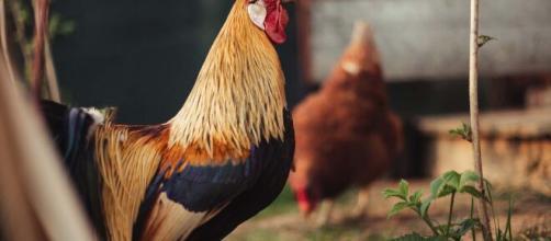 Lodi, il gallo canta troppo presto al mattino, vicini chiamano i vigili: multato un pensionato.