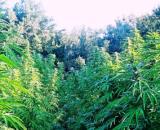 La piantagione di marijuana è stata scovata dagli uomini della Guardia di Finanza.