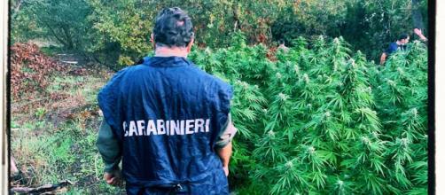 La piantagione di marijuana è stata sequestrata dai carabinieri.