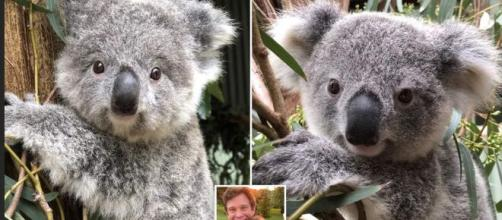 Jack and Eugenie son los nombres de estos koalas