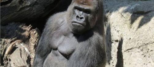 Malabo, el gorila del zoológico de Madrid que dejó en grave estado a su cuidadora.