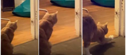 Le combat d'un chat et une araignée aurait pu tourner au drame - © capture d'écran vidéo Youtube