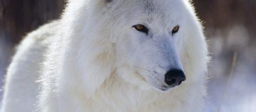El ADN de los lobos primitivos demostraron las diferencias con otras especies de lobos.