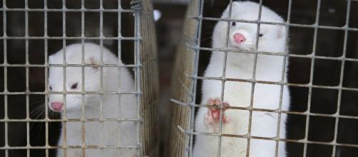 Confirman que visones en granjas de Polonia están infectados de covid-19