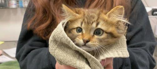 Une petite chatte vient d'être adoptée -©capture d'écran page Facebook
