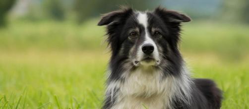 Un exitoso empresario deja cinco millones de dólares a su perro, Lulu, un border collie de 8 años