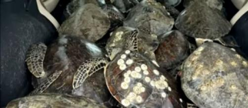 """Thousands of """"cold-stunned"""" sea turtles rescued from Texas storm. [Image source/Global News YouTube video]"""