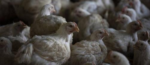 Rusia detectó el primer caso de transmisión de cepa H5N8