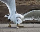 Las gaviotas son aves oportunistas que se alimentan de lo que encuentran. (Foto: Pixabay)