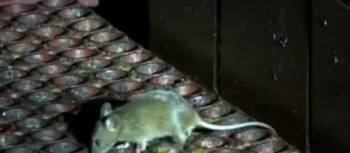 Rats invaded famous restaurants when business closed for the night (Image source: Inside Edition/YouTube)
