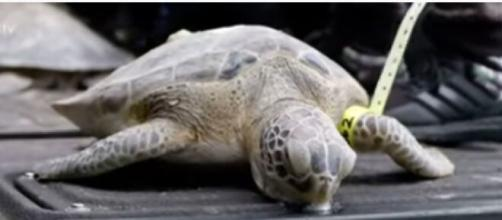 Sea turtles rescued in Texas close to returning to ocean. (Image source: ABC News/YouTube)