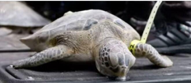 Endangered sea turtles in Texas rescued from the winter storm are released into the water