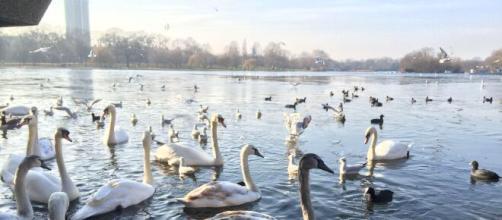 Cisnes en el Lago Serpentine en Londres