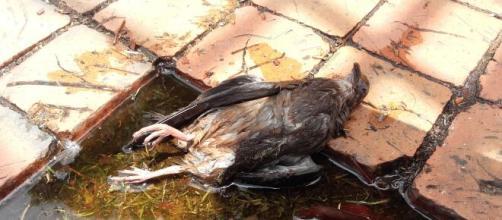 Paloma muerta (Wikimedia Creative Commons)