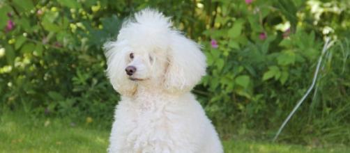 Sardegna: Glicy, il primo cane allerta diabete dell'isola, tiene sotto controllo un 13enne.