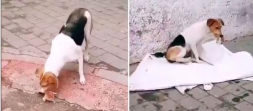 Une chienne fait le buzz sur les réseaux sociaux - Photo captures d'écran vidéo Twitter