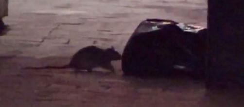 Rat infestation in Manhattan (Image source: CBS/YouTube)