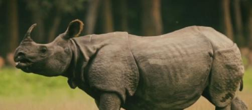 The population of one-horned rhinos in the sanctuaries of Nepal has seen an upward trend (Image source: Sagar Giri/YouTube)