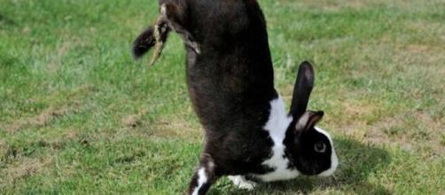 Sauteur d'Alfort, a espécie de coelhos que anda sobre as patas dianteiras (M. Carneiro et al./PLOS Genet)
