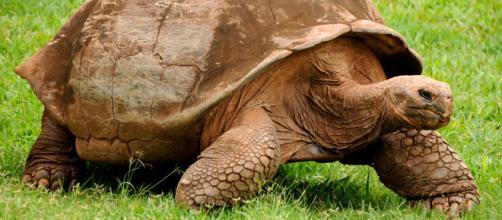 Espécie de tartaruga considerada extinta ressurge em ilha de Galápagos (Arquivo Blasting News)