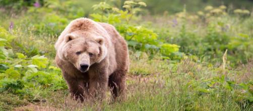 Un oso pardo le causó heridas de gravedad a una mujer de 75 años durante un paseo en Sonande (Hupp Lisa, USFWS / Pixnio)