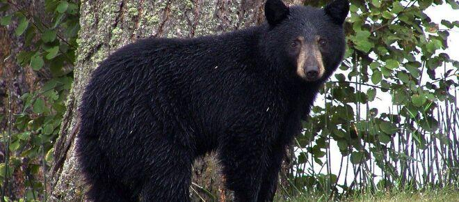 Great Smoky Mountains National Park camper faces heavy fine for feeding bear