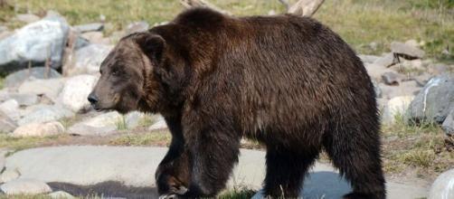 Across Japan, bear habitats are expanding exponentially (Image source: Steppinstars/Pixabay)