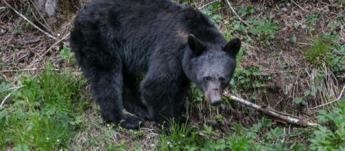 Bear Attacks Teenager Sleeping in Hammock - newsweek.com