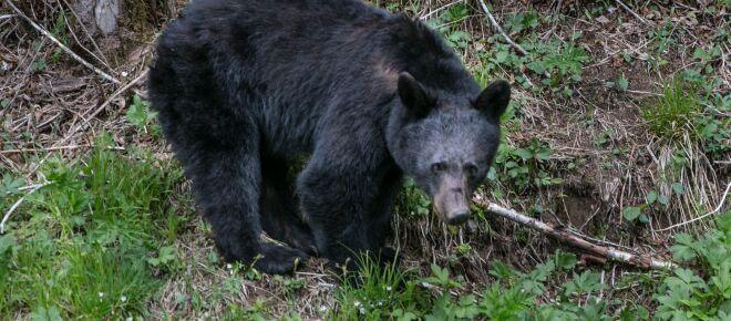 Great Smoky Mountains National Park bear killed after attacking sleeping teen camper