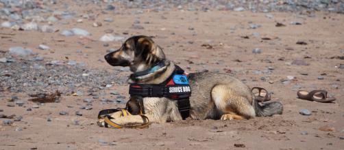 Los perros de servicio ayudan a personas con discapacidad o con ciertas condiciones (Pixabay)