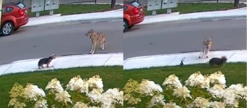 Yorkshire arriesga su vida para salvar a una niña de 10 años de un coyote ( Youtube / EL TRASCENDENTAL)